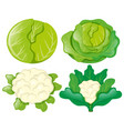 cabbages and cauliflowers on white vector image vector image