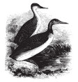 red throated diver vintage vector image vector image