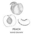 Sketch of the whole peach half and segment Hand vector image vector image