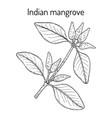 indian mangrove avicennia officinalis medicinal vector image vector image