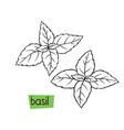basil hand drawn vector image