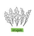 arugula hand drawn vector image vector image