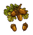 oak leaf acorn thanksgiving day sketch icon vector image