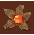 Physalis isolated from the background vector image vector image