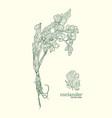 coriander hand drawn set vector image