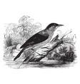 reed warbler vintage vector image vector image