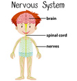 Nervous system in human body vector image vector image