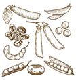 engraving beans and peas vector image