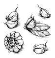 hand drawn set of garlic with laurel leaf vector image