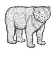 spectacled bear hand drawing vintage engraving vector image vector image
