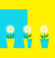 white daisy chamomile icon three flower pot set vector image vector image