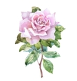 Watercolor garden roses isolated on white vector image