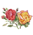 Watercolor garden roses isolated on white vector image vector image
