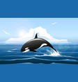 orca or killer whale jumps out water vector image vector image