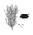 Rosemary drawing Isolated Rosemary plant vector image