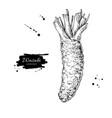 wasabi root drawing hand drawn plant vector image vector image