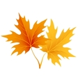 Autumn maple leaves isolated on white vector image vector image