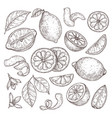 lemon sketch hand drawn oranges lime pencil vector image