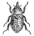 rhinoceos beetle vintage vector image vector image