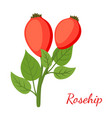 rosehip herbal plant cartoon flat style vector image