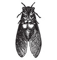 musical apparatus of the male cicada vintage vector image vector image