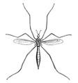 crane fly vintage vector image vector image