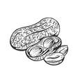 peanut sketch engraving vector image