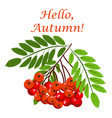 rowan bunch berries red ripe leaf tree autumn vector image vector image