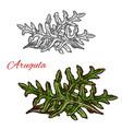 arugula plant sketch of green leaf salad vegetable vector image vector image