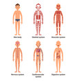body anatomy of men nerves and muscular systems vector image