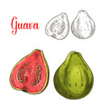 guava fruit isolated sketch for food design vector image vector image