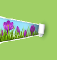 Green grass lawn with violet crocuses and ripped vector image vector image
