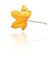 sweet gum leaf vector image vector image