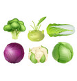 cabbage set green nutrition agricultural objects vector image vector image