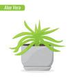 aloe vera house plant decorative plant concept vector image vector image