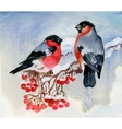 Bullfinch birds on snowy tree branch Watercolor vector image