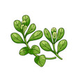 marjoram spice realistic colored botanical vector image vector image