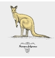 The western grey kangaroo engraved hand drawn vector image