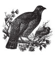 dusky grouse vintage vector image