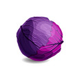 fresh and tasty red cabbage isolated on white vector image vector image