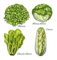 cabbage and lettuce vegetable isoletad sketch vector image vector image