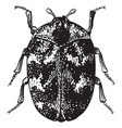 adult common carpet beetle vintage vector image vector image