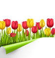 Green grass lawn with tulips and wrapped paper vector image vector image