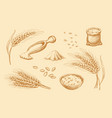 cereals set hand drawn wheat rye vector image vector image