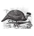 crested guineafowl vintage vector image vector image