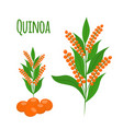 quinoa set seeds healthy quinoa vegetarian food vector image vector image