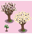 Stages of growth and flowering cherry trees sakura vector image