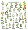 best herbs for teas vector image