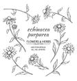 echinacea purpurea set vector image vector image