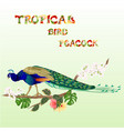 peacock tropical bird on branch with ficus vector image vector image